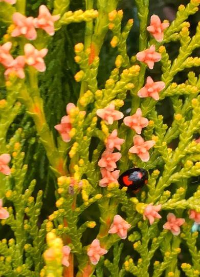 ヒバの花2.jpg