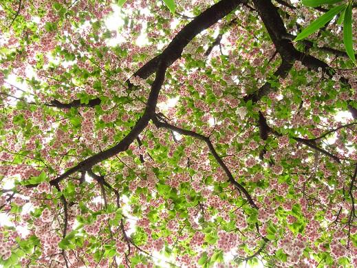 八重桜・.jpg