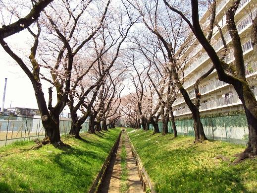 小金井桜2.jpg