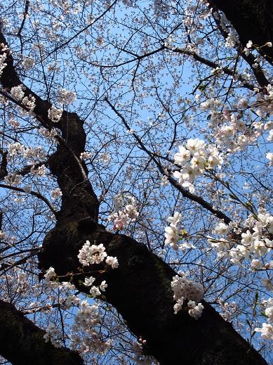 小金井桜1.jpg