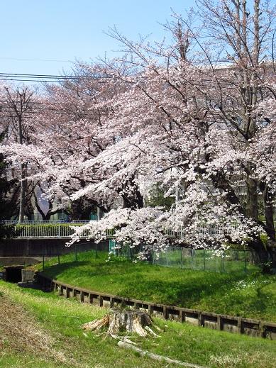 小金井桜3.jpg
