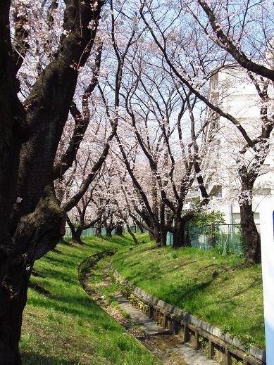 小金井桜4.jpg