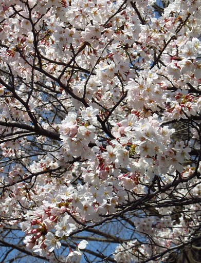 小金井桜7.jpg