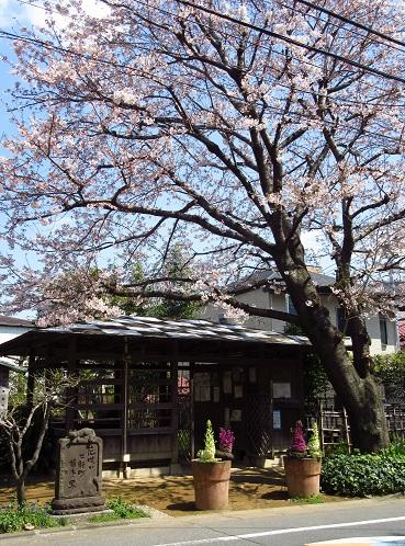 染井の桜1.jpg