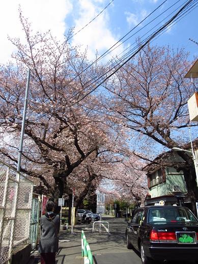 染井の桜2.jpg