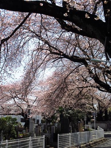 染井の桜3.jpg