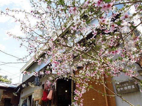 谷中の桜.jpg