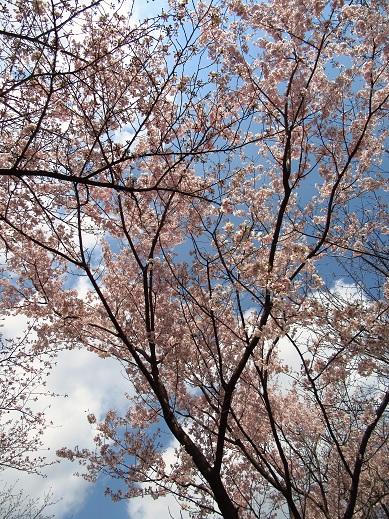 飛鳥山の桜.jpg
