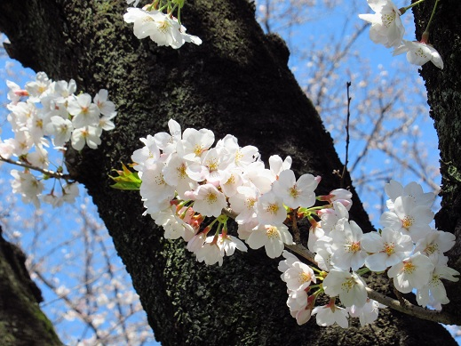 2018年桜1.jpg