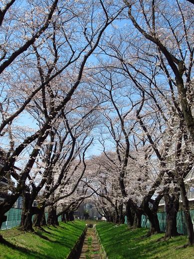 2018年桜3.jpg