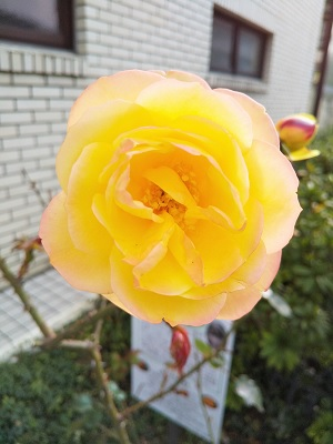 アンネのバラ1.jpg