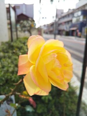 アンネのバラ2.jpg