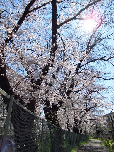 小金井 桜1.jpg