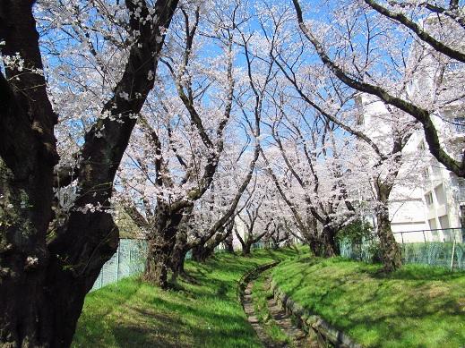 小金井 桜2.jpg