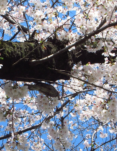 小金井 桜3.jpg
