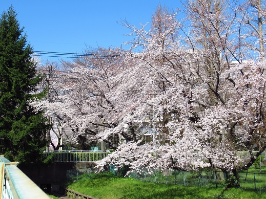 小金井 桜4.jpg