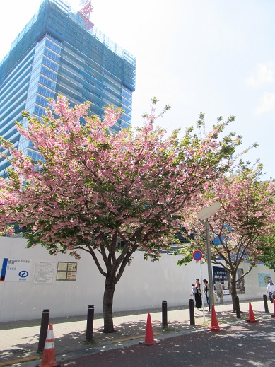 桜・2019-4-23.jpg