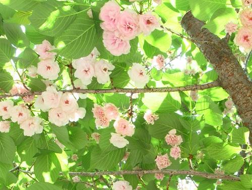 桜・一葉.jpg
