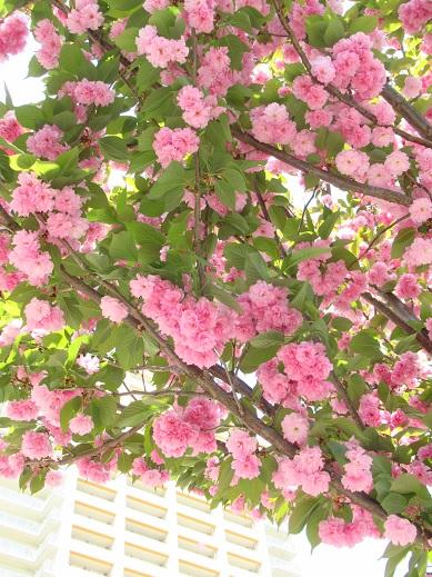 桜・関山.jpg
