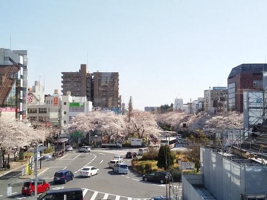 桜*国立市 2019.4.4.jpg