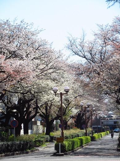 桜*学芸大1.jpg