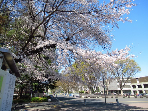 桜*学芸大2.jpg