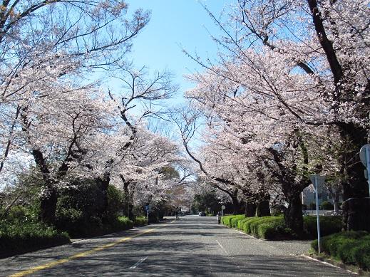 桜*学芸大3.jpg