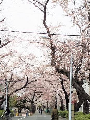 谷中霊園*桜1.jpg