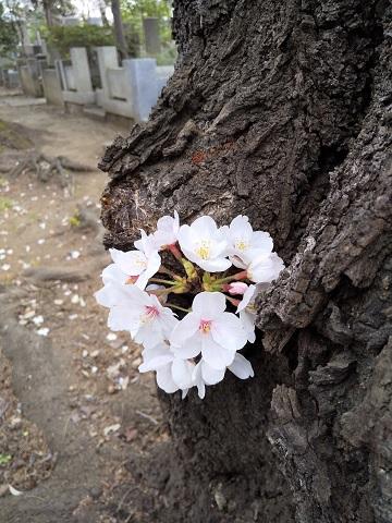 谷中霊園*桜3.jpg