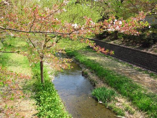 野川の桜1.jpg