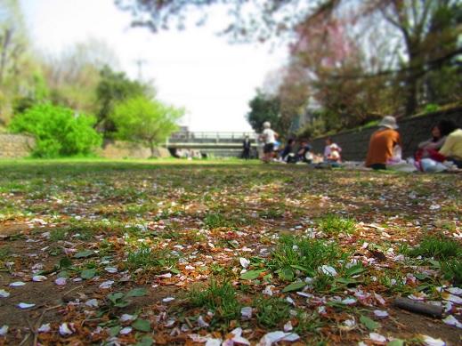 野川の桜2.jpg